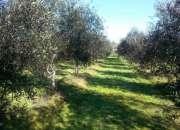 Compro olivo en tierra