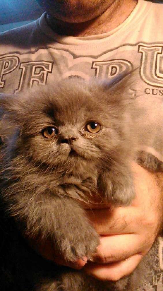 Gatos persas, vacunados y desparasitados