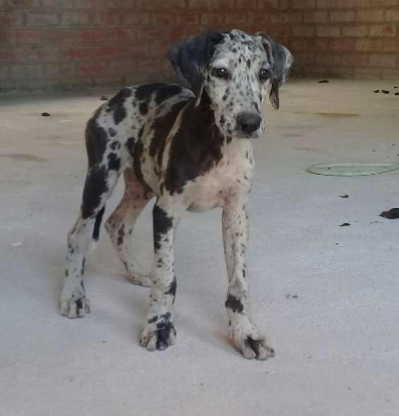 Gran danes cachorra legitima 3 meses merle